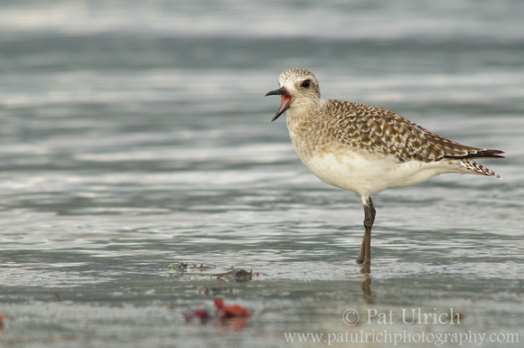 Calling plover