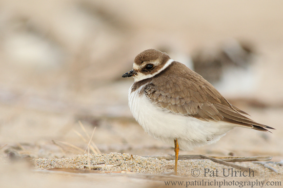 Plover in the crowd
