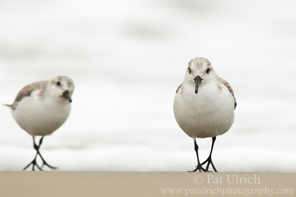 Sanderlings on white