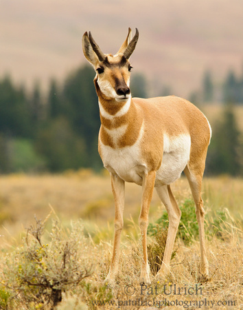 Pronghorn glances to the side
