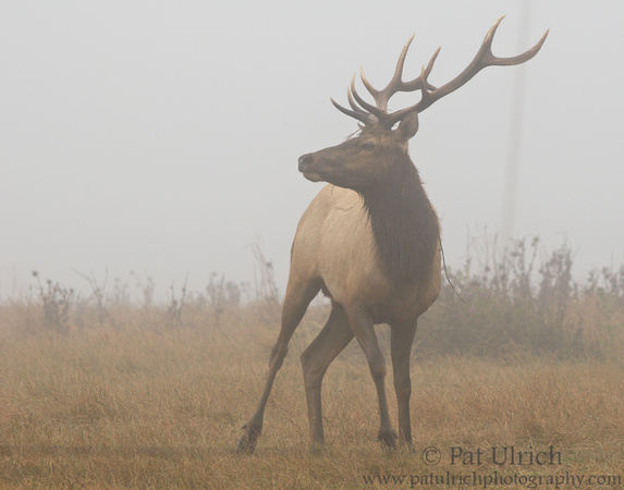 Tule elk with vine on its antlers