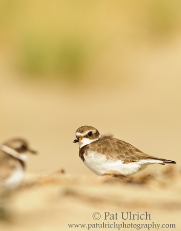 Sunshine on a semipalmated plover