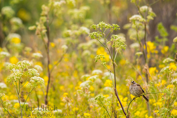 Sparrow in a sea of wildflowers