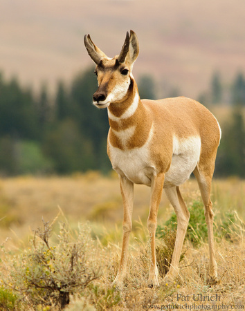 Pronghorn in Yellowstone National Park