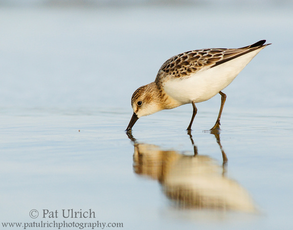 Sandpiper reflection