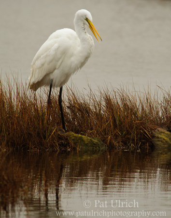 Egret preening in the marsh