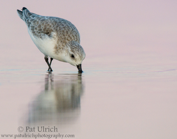 Sanderling feeding at dusk
