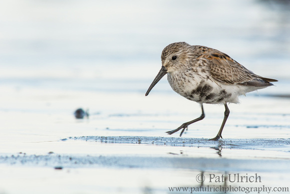 Dunlin stepping across the sand