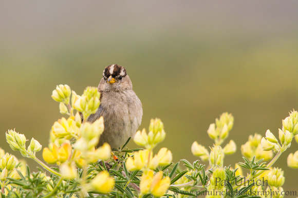 White-crowned sparrow in yellow bush lupine