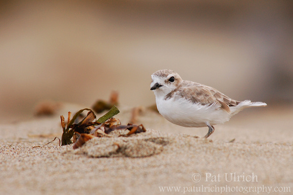 Young plover