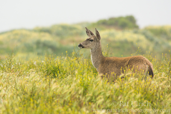 Mother mule deer near the dunes