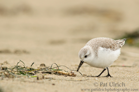Sanderling checking the seaweed