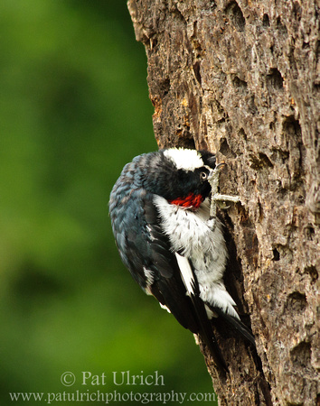 Focused woodpecker