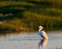 Snowy egret in salt marsh at sunset