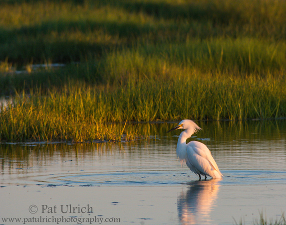 Wildlife Photography by Pat Ulrich: Herons & Egrets &emdash; Snowy egret in salt marsh at sunset