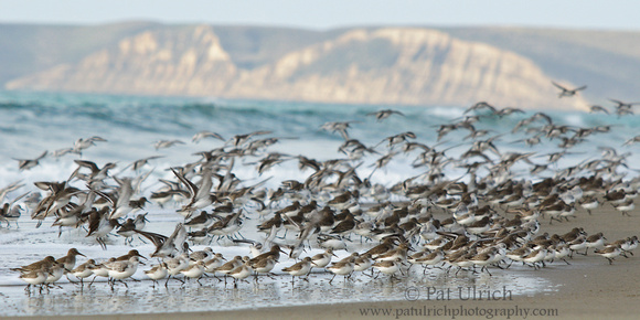 Flock of sandpipers landing on Limantour Beach in Point Reyes National Seashore