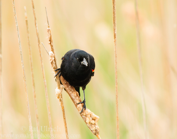 A red-winged blackbird on a cattail in Parker River National Wildlife Refuge