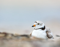 Piping plover brooding one chick