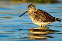 Reflected dowitcher