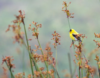 American goldfinch in the marsh