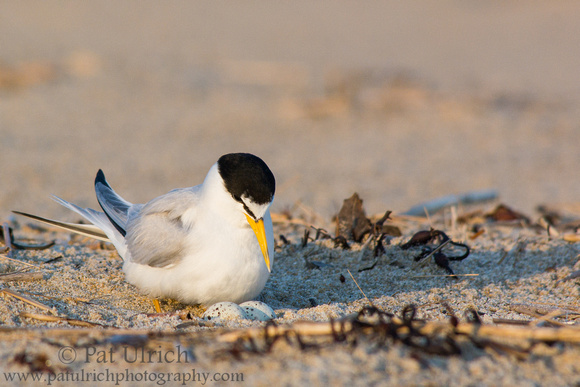 Least tern checking on its eggs