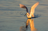 Golden snowy egret wings