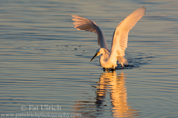 Snowy egret stretches its wings at sunset