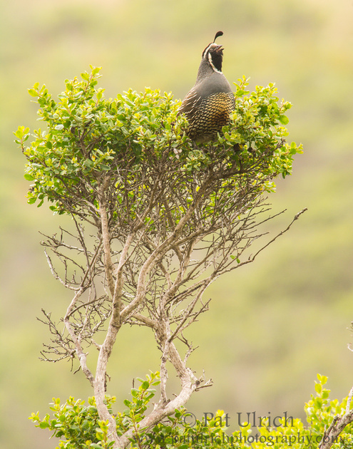 Quail singing from a twisted branch of coyote brush