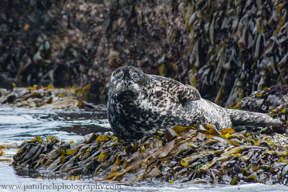 Harbor seal on kelp covered rock in Point Lobos
