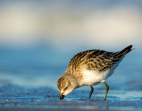 Least sandpiper on blue