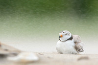 Piping plover protecting its chick from the blowing sand
