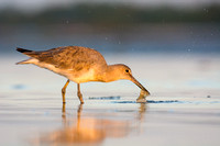 Willet nabs a fish