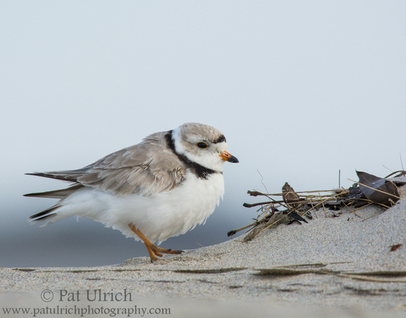 Piping plover walking slowly across the beach at Sandy Point State Reservation