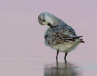 Sanderling preening after sunset