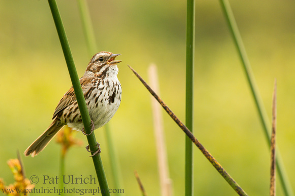 Song sparrow singing while perched on reeds in a freshwater marsh