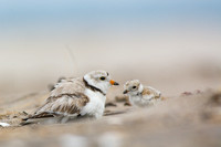 Piping plover chick returns to brood