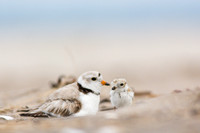 Piping plover chick with parent