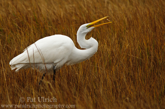 A great egret flips a fish into its beak