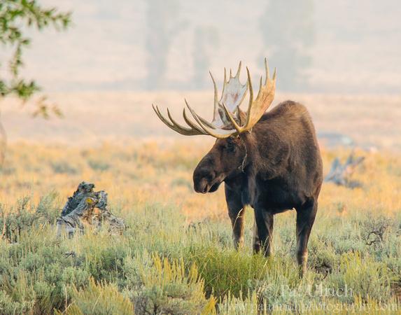Bull moose in the sage brush at sunrise in Grand Teton National Park