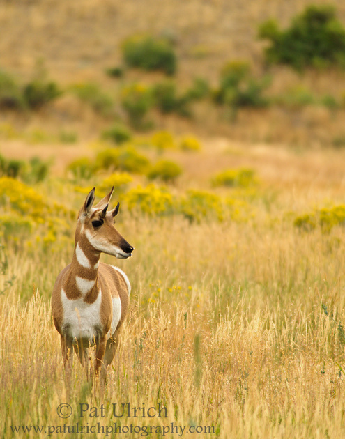 Pronghorn in the grass in Yellowstone National Park