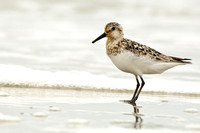Late summer sanderling