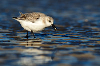 Sanderling with clam, Parker River NWR