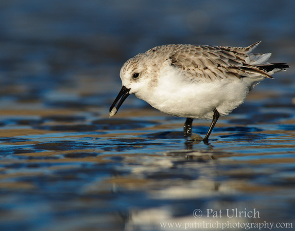 Photograph of a sanderling with prey at Parker River National Wildlife Refuge