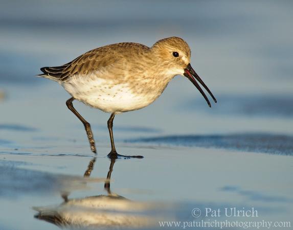 Dunlin strolling across the tidal flats at Parker River National Wildlife Refuge