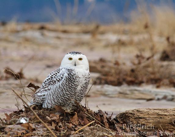 Snowy owl on the beach