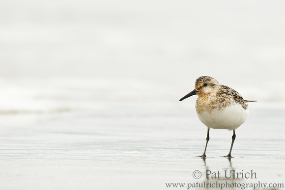 Sanderling stands alone on sand reflecting an overcast sky