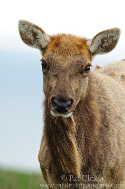 Portrait of a female tule elk in Point Reyes National Seashore