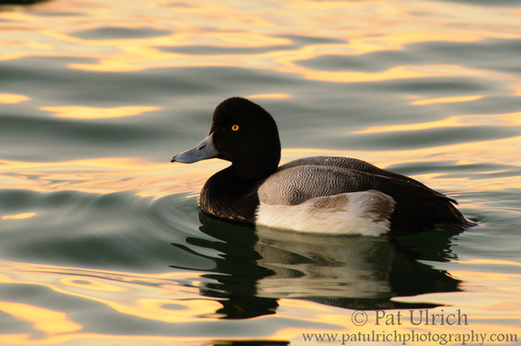 Scaup on San Francisco Bay