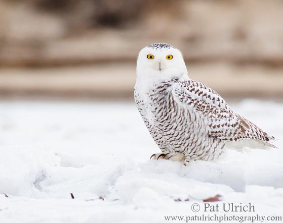 Snowy owl on sea ice along the beach