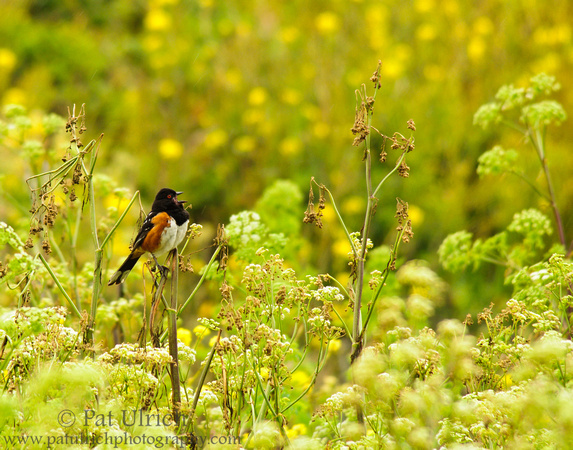 Spotted towhee perched in wildflowers in Point Reyes National Seashore